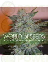 Yumbolt 47 (World of Seeds) Feminizada
