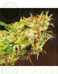 Zamaldelica Regular (ACE Seeds)