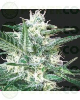 Psicotropic CBD (Biohazard Seeds)
