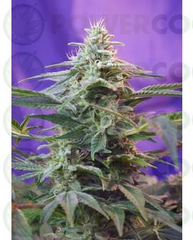 Sweet Special Auto (Sweet Seeds) Semilla feminizada