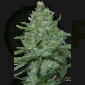 Critical Feminizada (SeedMakers)