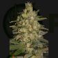 Silver Jack (SeedMakers)