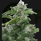 White Dwarf Auto Feminizada (Buddha Seeds)