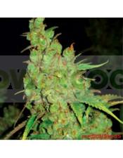 1024 (Medical Seeds) Feminizada Semilla Feminizada 1024 (Medical Seeds) Marihuana Sativa Nos sentimos orgullosos de este cruce!!! 1024 lo combina todo: sabor, producción, presencia, es la planta perfecta.  Se adapta perfectamente a todos los sistemas de c
