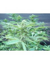 Regalo 12 Semillas Biohazard Seeds +600€