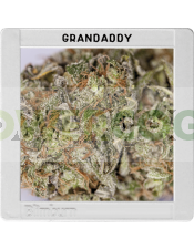 Granddaddy Purple (Original Blimburn America Feminized)