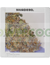 Sour Diesel(Original Blimburn America Feminized)