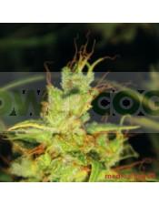 2046 (Medical Seeds) Semilla Feminzada Marihuana Sátiva 100%