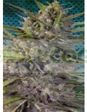 Kraken Feminizada (Buddha Seeds)