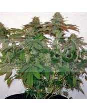 8 Ball Kush (Barney´s Farm Seeds)