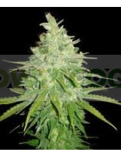 Semilla feminizada 100% Afghan Kush x Skunk (World of Seeds) Cannabis Medicinal.