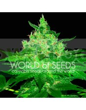 Afghan Kush Feminizada World Of Seeds Cannabis