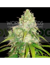 AFGHAN KUSH x YUMBOLT (WORLD OF SEEDS) MEDICAL COLLECTION
