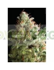 American Pie (Pyramid Seeds) Semilla Feminizada