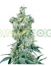 American Dream (Sensi Seeds) Semilla Regular Cannabis