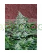 Amnesia Auto (World of Seeds) Semilla Autofloreciente Cannabis