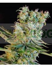 Amnesia Bilbo (Genehtik Seeds) Semilla feminizada Cannabis-Marihuana