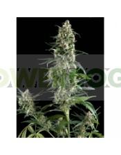 Amnesia Gold Auto (Pyramid Seeds)