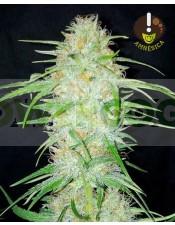 Amnesica (Mano Verde Seeds) Semilla Feminizada