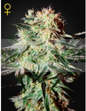 Arjan´s Strawberry Haze (Geen House Seeds)
