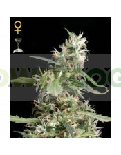 Arjans Ultra Haze #1 (Green House Seeds)