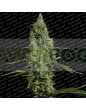 Atomical Haze (Paradise Seeds) Feminizada