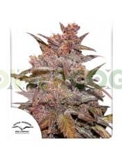 Auto CBD Blackberry Kush  (Dutch Passion Seeds)