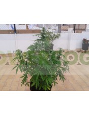 Auto 4:20 (Biohazard Seeds)