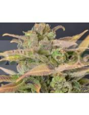 Auto Critical (CBD Seeds) Semillas Feminizadas de Marihuana
