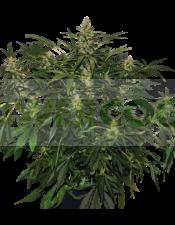 Auto Deimos Feminizada (Buddha Seeds)