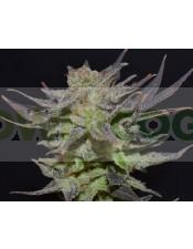 Auto Lavender (CBD Seeds) Semilla Feminizada