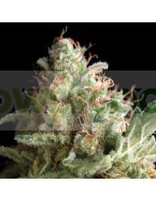 Auto Pipi (Pyramid Seeds