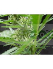 Auto Power (Biohazard Seeds)