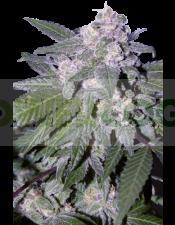 Auto Blue (SeedMakers) Semilla Autofloreciente Cannabis Feminizada