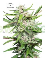 AutoFrisian Dew (Dutch Passion)Semilla Autofloreciente Cannabis