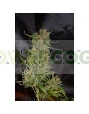 Auto Pyramid (Pyramid Seeds) Semilla Autofloreciente  Os presentamos nuestra primera planta Autofloreciente, es un cruce entre una ruderalis y una indica para conseguir un tamaño y floración rápida.  A su vez ha sido polinizada por nuestra Haze para obten