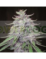 Bangi Haze (Ace Seeds) Semilla Regular