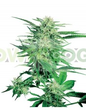 Semillas Big Bud Feminizada Sensi Seeds