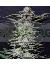 BLACK IN BLACK (GREENBUD SEEDS)