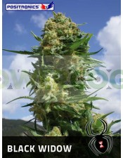 Black Widow (Positronics Seeds)