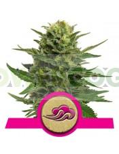 Blue Mistic (Royal Queen Seeds) Feminizada marihuana barata,
