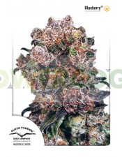 "Blueberry Regular (Dutch Passion Seeds)  Semilla de Cannabis Blueberry ® Interior / Exterior  1º premio ""Copa High Times"" 2000  3º premio ""Copa High Times"" 2001  Nuestra Original Blueberry es principalmente una variedad Indica (80% Indica, 20% Sativa), na"