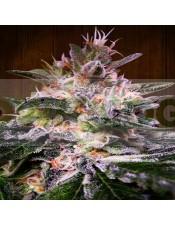 plantas de hachís produce flores relajantes, muy densas y sabrosas, llenas de resinas y de alto valor medicinal.
