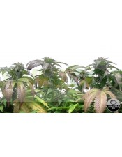 Bubba Kush CBD (Dinafem Seeds)-1