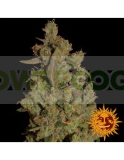 CBD CRITICAL CURE (Barney´s Farm Seeds)