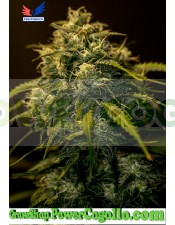 CBD+ Jack Diesel (Positronics Seeds)