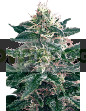 Cheex (SeedMakers) Semilla 100% feminizada