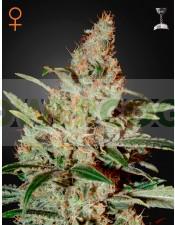 Chemdog (Greeen House Seeds) Semilla Cannabis Feminizada Barata