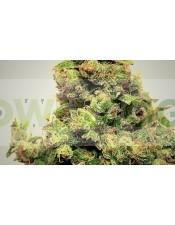 Chewaka (Pepita Seeds) Semilla Feminizada cannabis