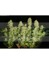 Chronic Regular (Seious Seeds)